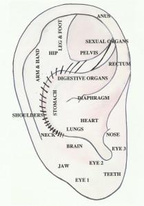 Western Ear Anatomy